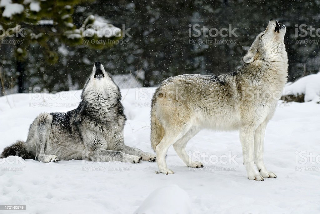two wolves howling during a snow storm stock photo