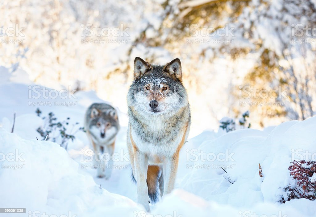 Two wolves in cold winter forest stock photo