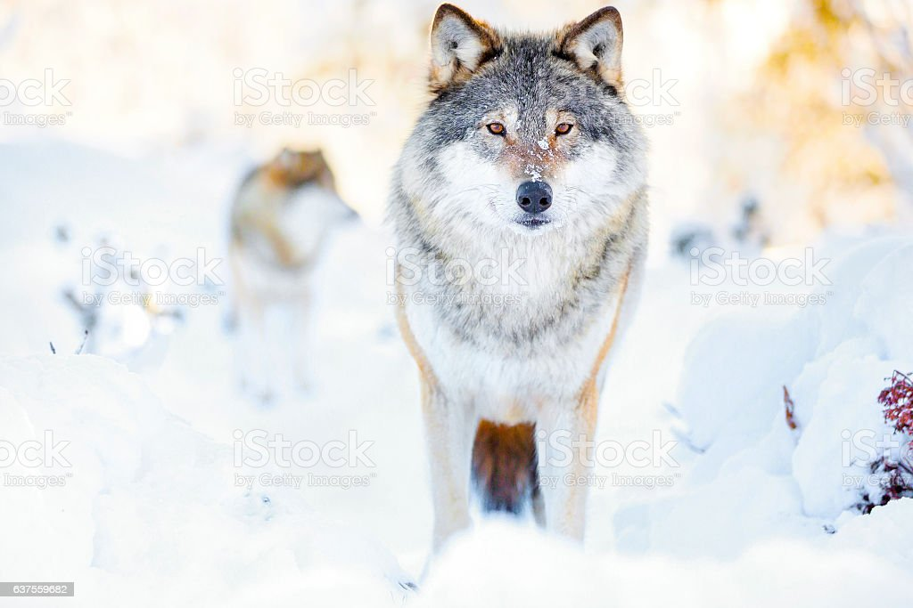 Two wolves in wolf pack in cold winter forest stock photo