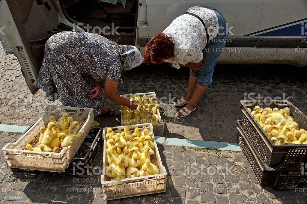 Two women watch ducklings in boxes stock photo
