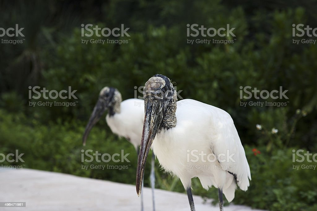 Two wood storks foraging for food stock photo