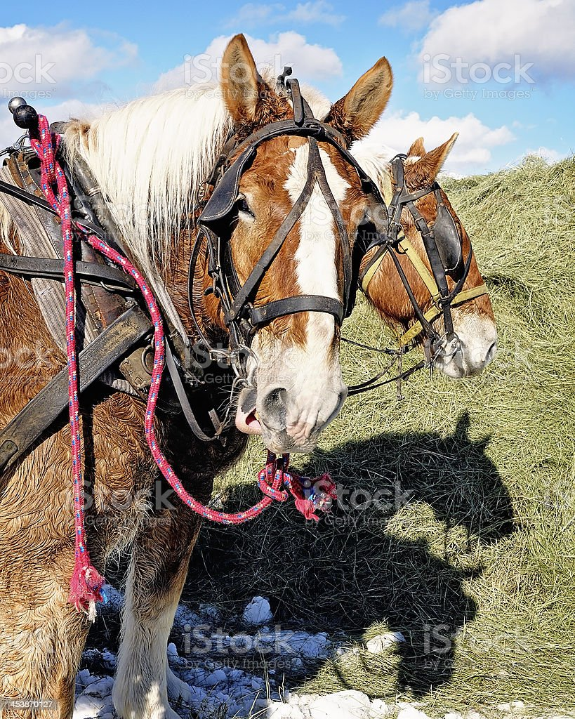 Two Work Horses royalty-free stock photo
