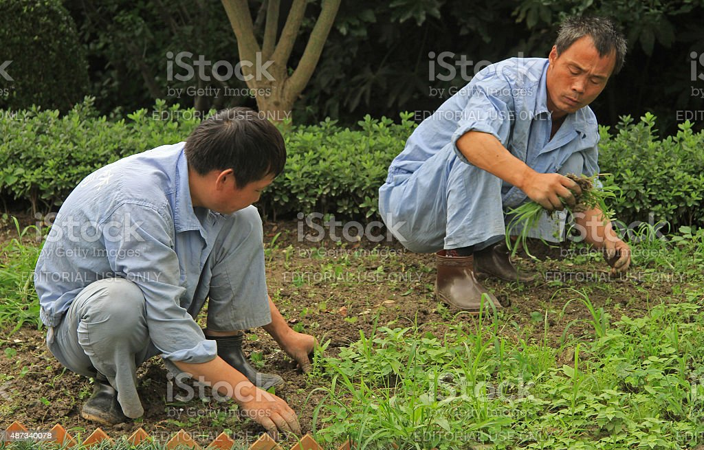 two worker are weeding lawn in public garden of Shanghai stock photo