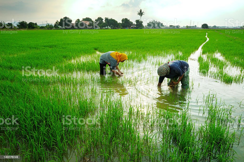 Two workers in green rice paddy field stock photo