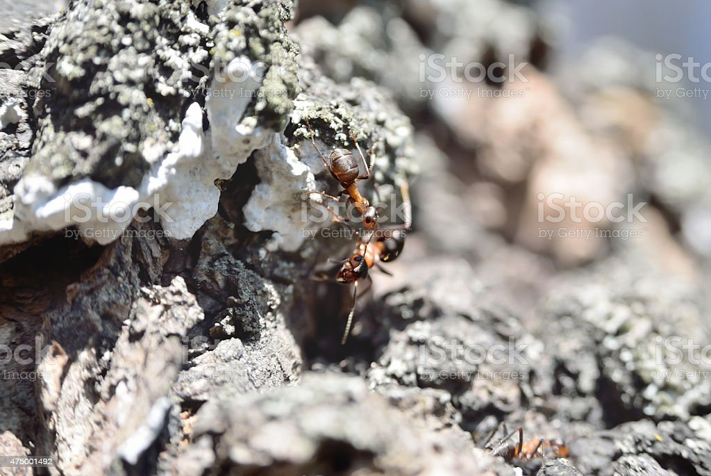 Two working ants communicate with each other stock photo
