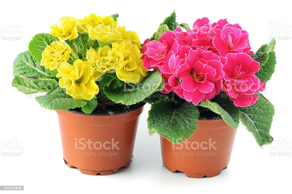 two yellow and pink primular (primrose) in flowerpot isolated background stock photo