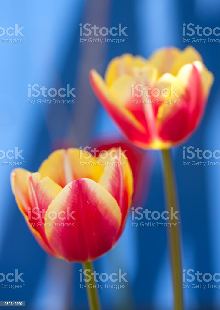 Two yellow and pink tulips. stock photo