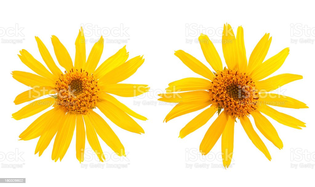 Two yellow Arnica Montana flowers against white background stock photo