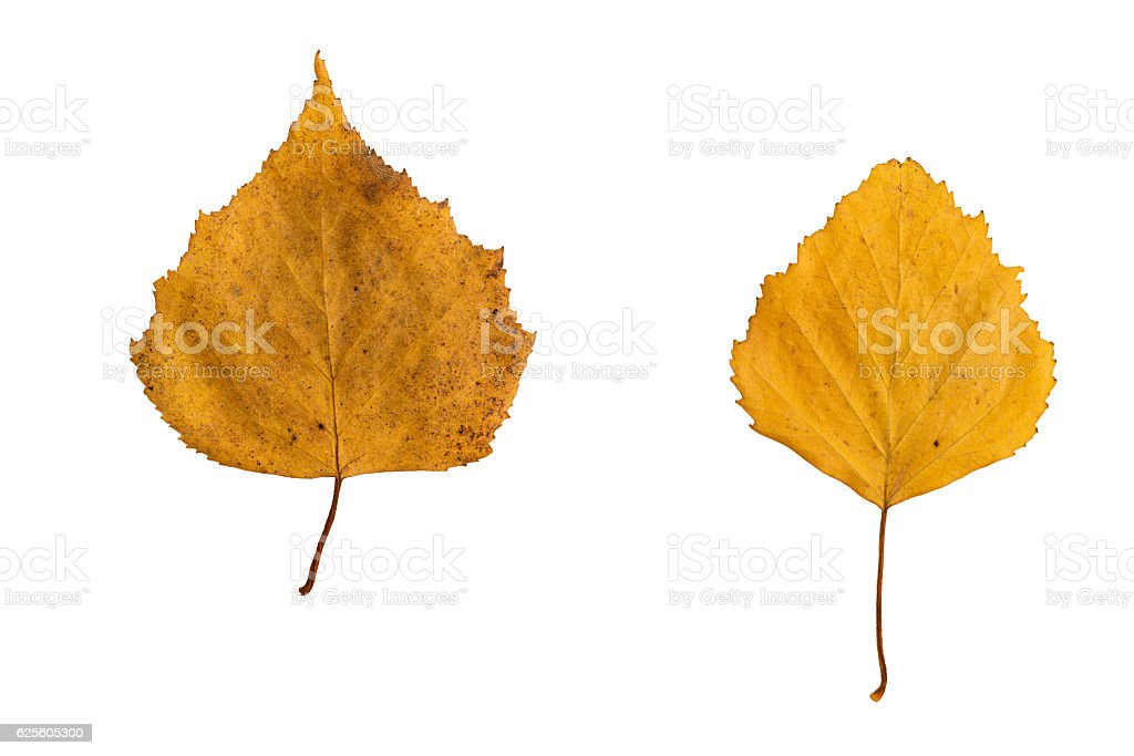 two yellow birch leaf on a white background stock photo