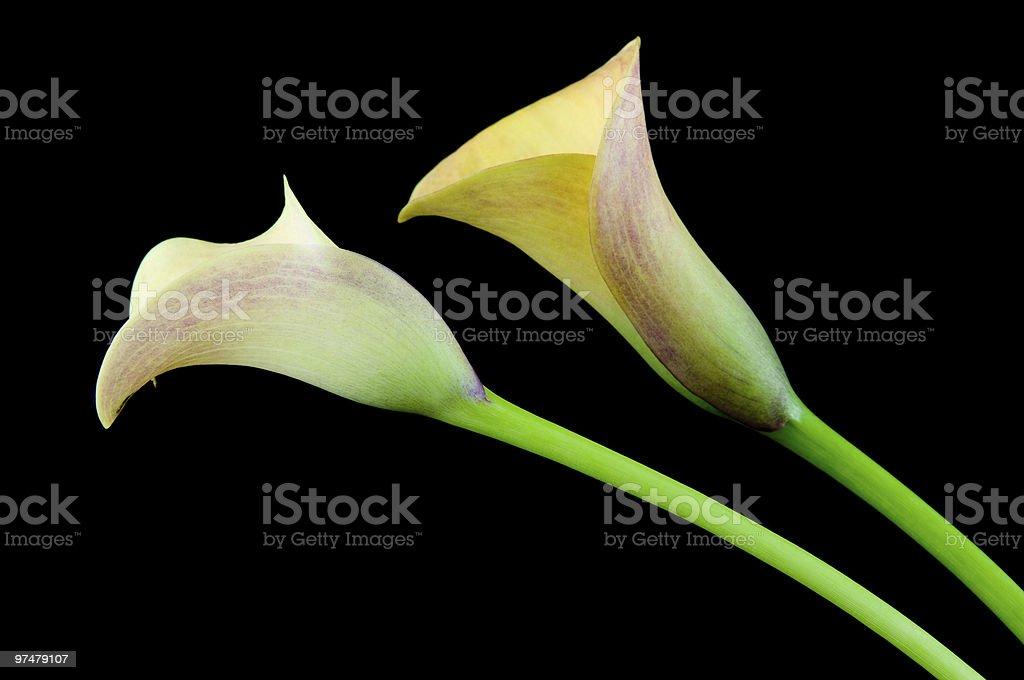 Deux calla jaune photo libre de droits