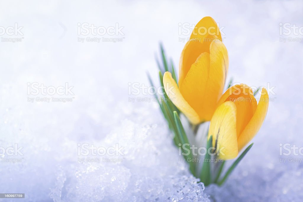 Two yellow crocus flowers in snow stock photo