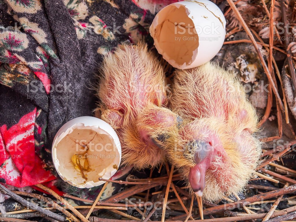 Two Yellow Flapper of acridotheres it Sleeping in a nest. stock photo