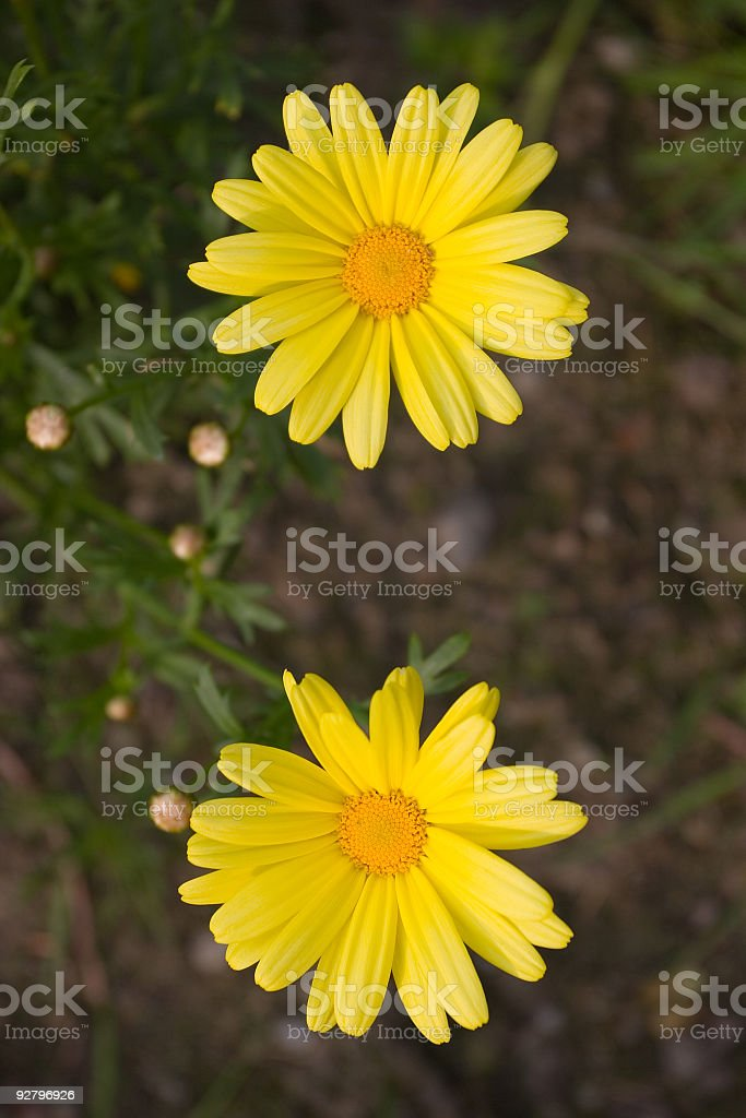 Two yellow flowers royalty-free stock photo