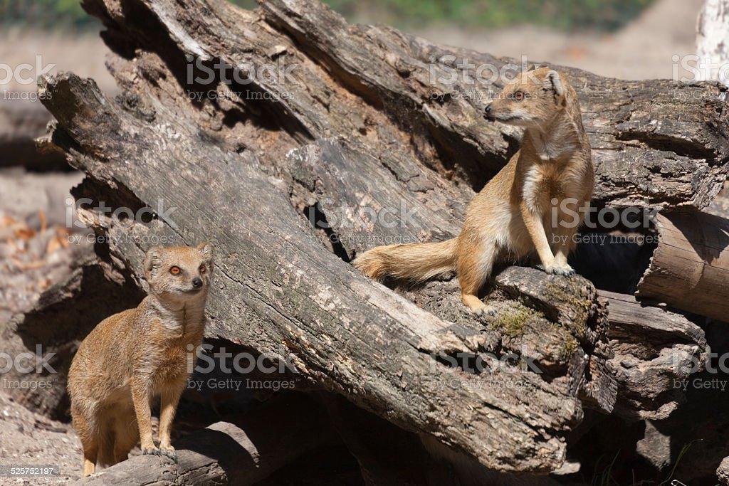 Two Yellow Mongooses stock photo