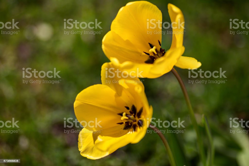 two yellow tulip flowers in a garden stock photo
