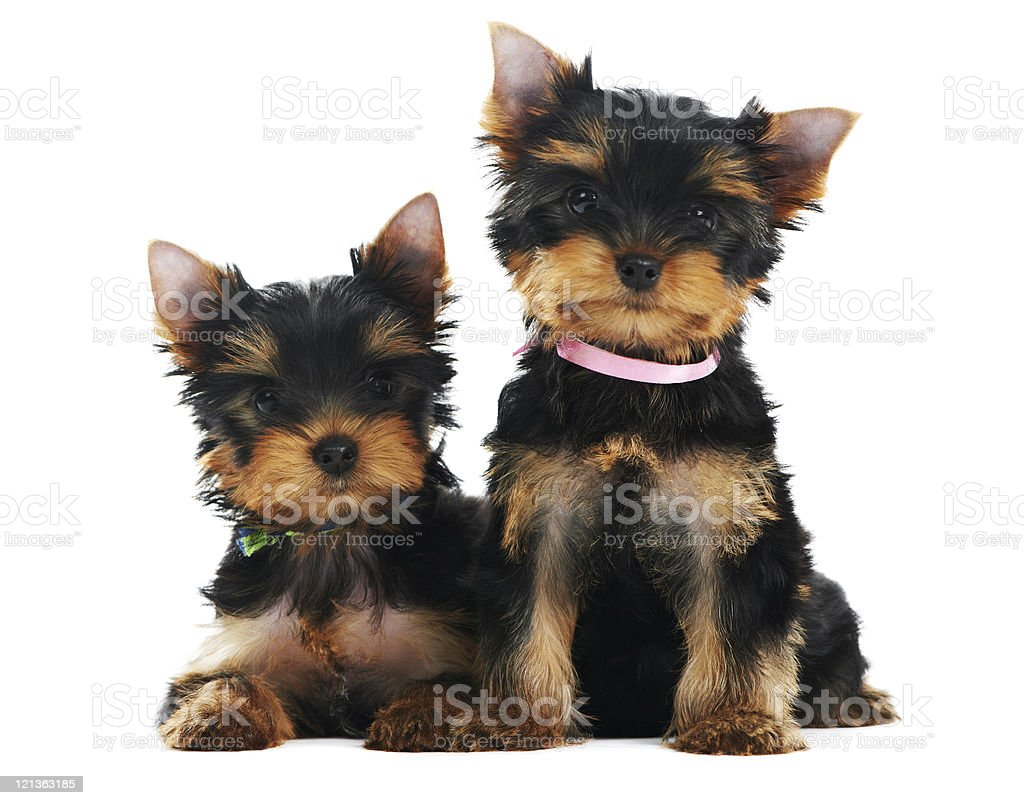 Two Yorkshire Terrier 3 month puppies dog royalty-free stock photo
