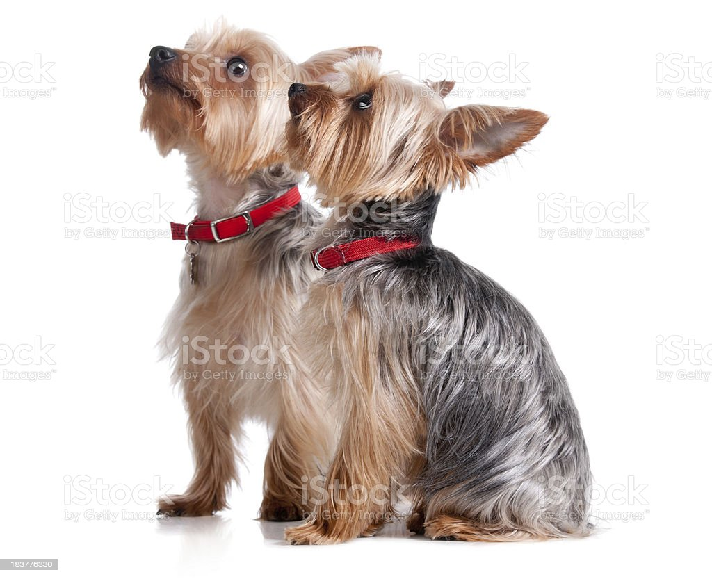Two Yorkshire Terriers royalty-free stock photo
