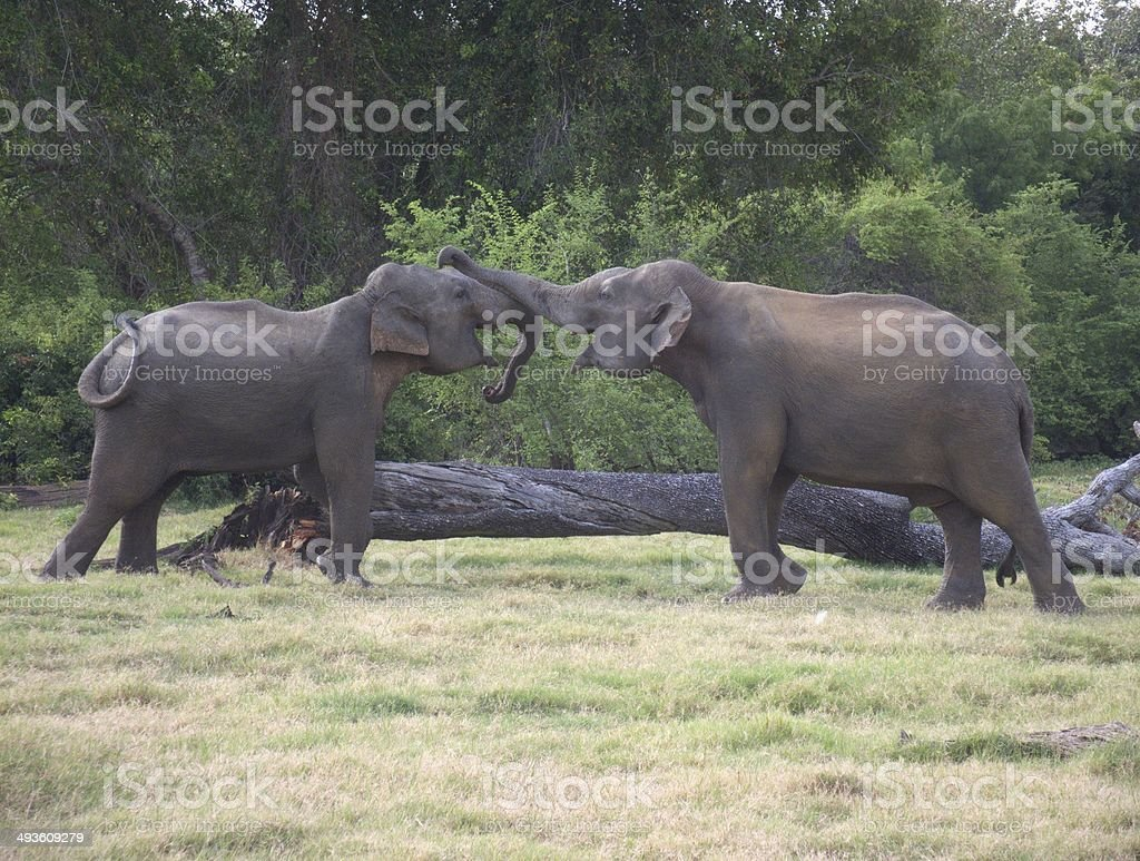 Two Young Asian Elephants Spar with their Trunks stock photo