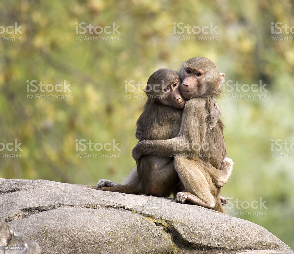 Two Young Baboons Hugging on Rock in Zoo royalty-free stock photo