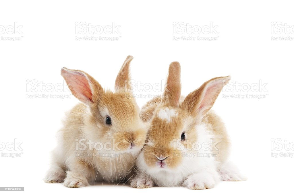 two young baby rabbit isolated royalty-free stock photo