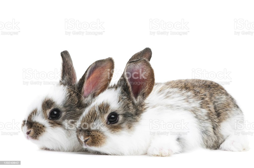two young baby rabbit isolated stock photo