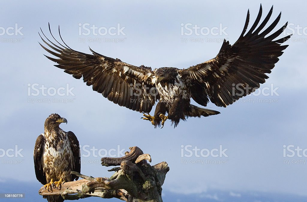 Two Young Bald Eagles, Perching and Landing stock photo