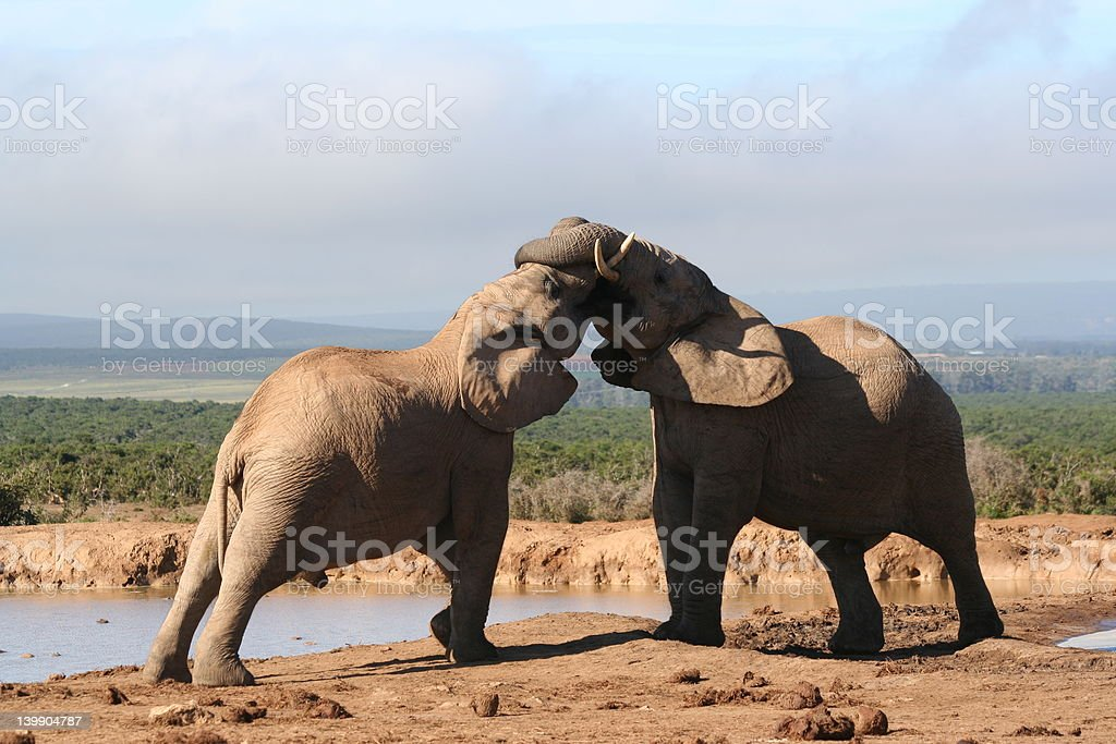 Two young Bull Elephants royalty-free stock photo