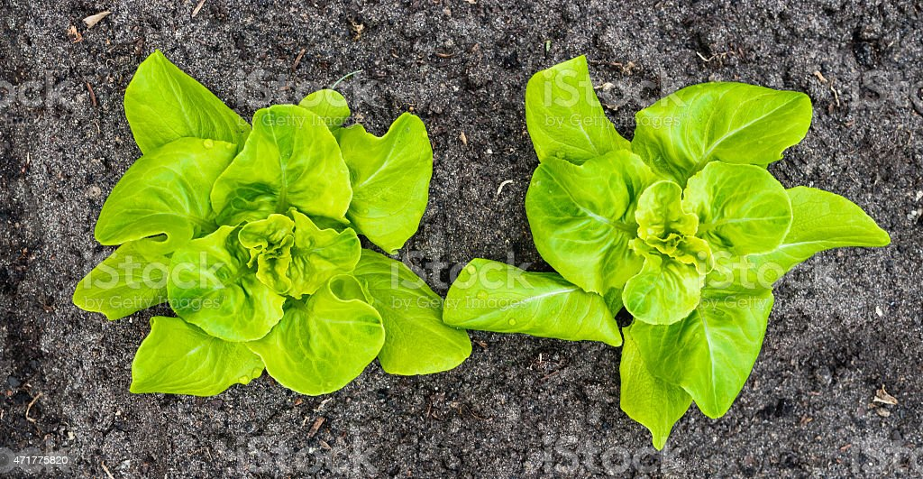 Two young Butterhead lettuce plants from above stock photo