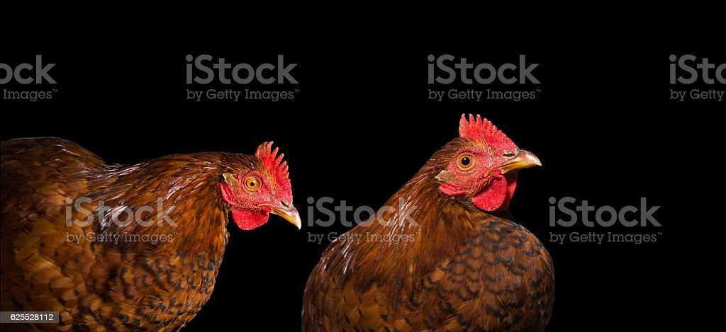 Two young chicken isolated on a black background. stock photo