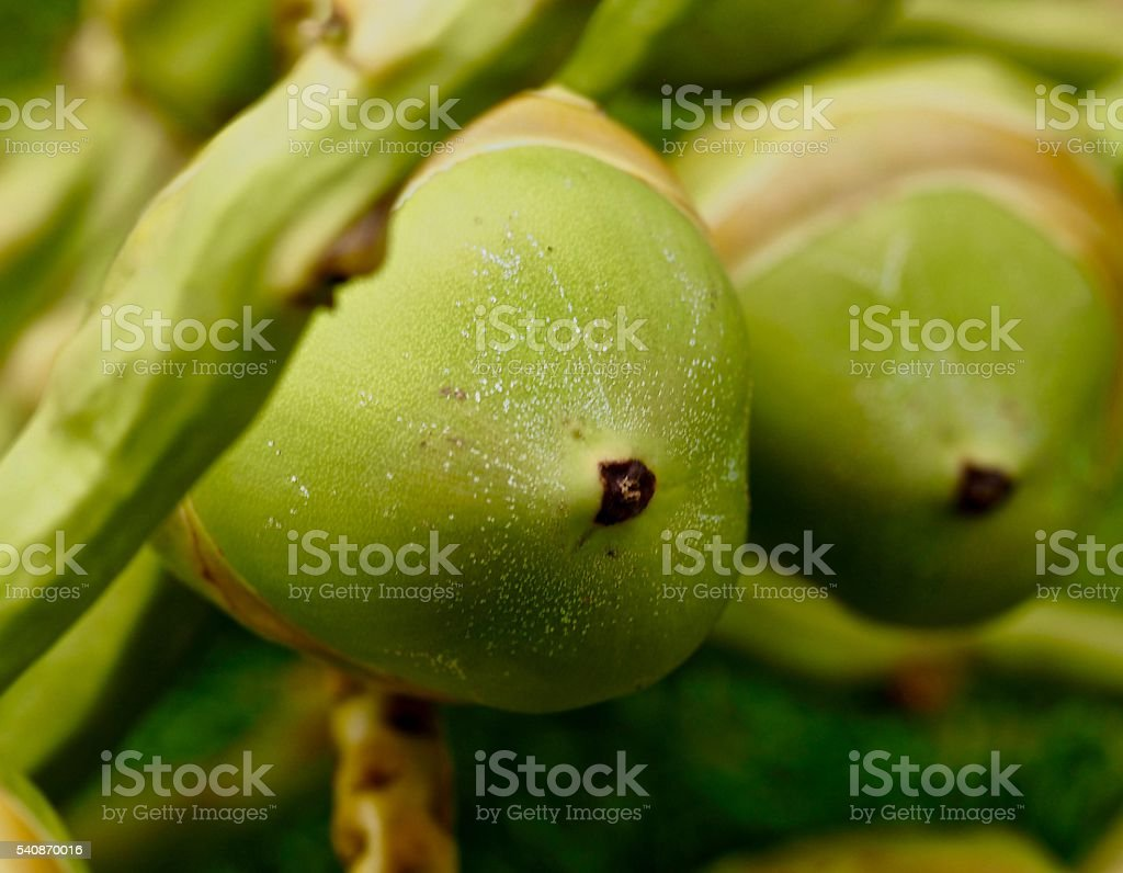 Two young coconuts , palm tree stock photo