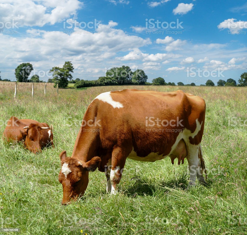 two young cows on pasture stock photo