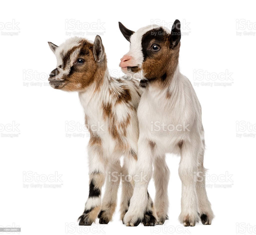 Two Young domestic goats, kids, isolated on white stock photo