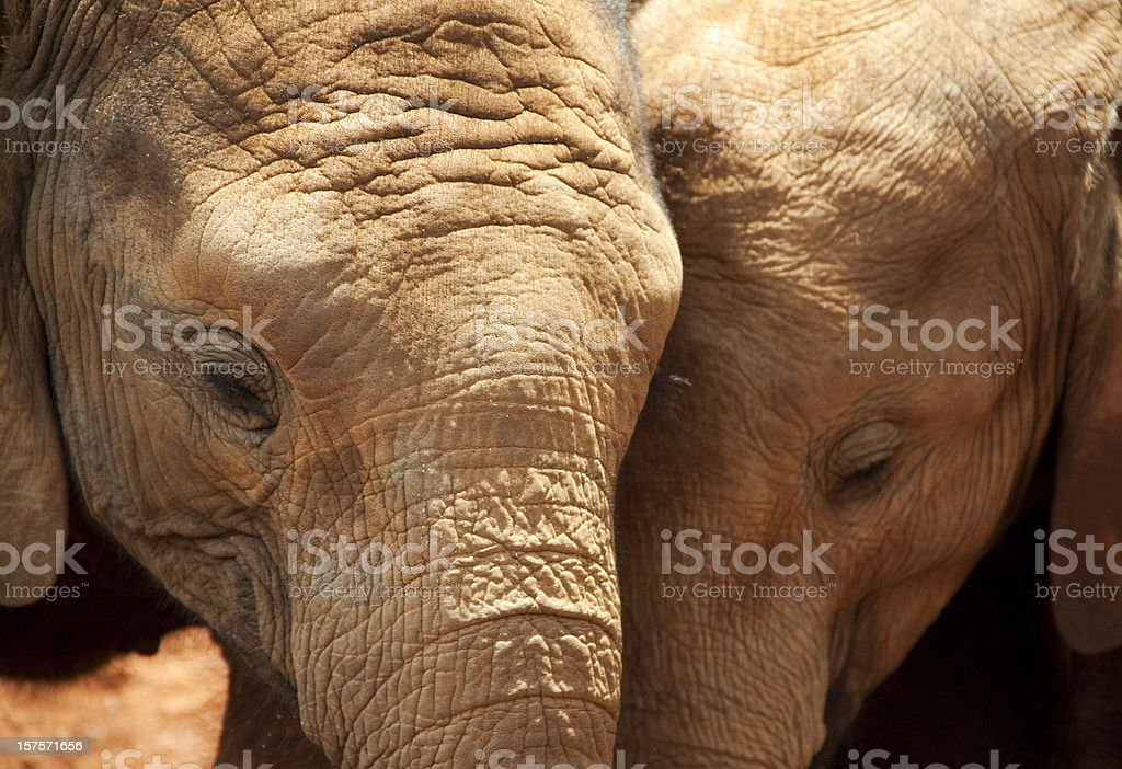 Two young elephants royalty-free stock photo