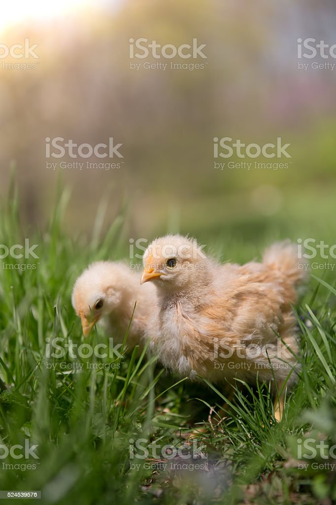 Two young free range chicks forage in the grass stock photo