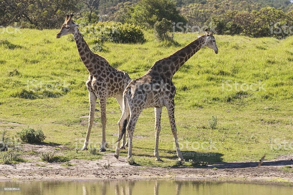 Two young giraffe royalty-free stock photo