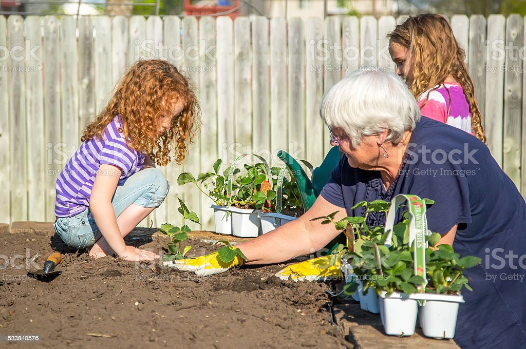 Two Young Girls Helping Grandma Plant Strawberries in Garden stock photo