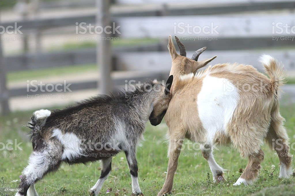 two young goats at the farm stock photo