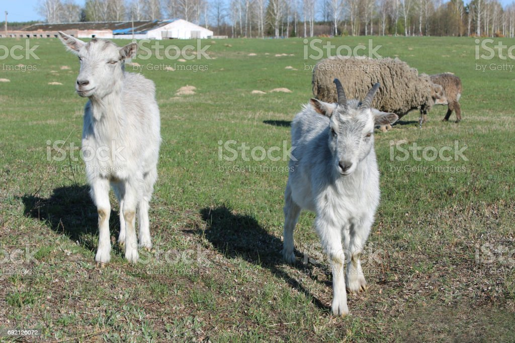 two young goats on the pasture stock photo