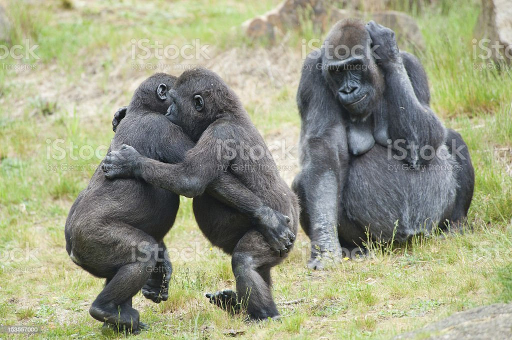 Two young gorillas dancing stock photo