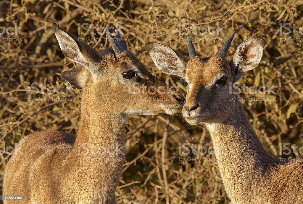 Dwóch młodych impala ram młode w Nicei rano światła zbiór zdjęć royalty-free
