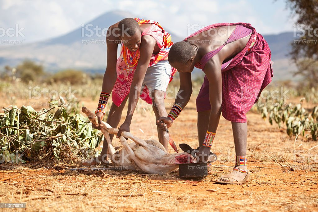 Two young masai slaughtering a goat. stock photo