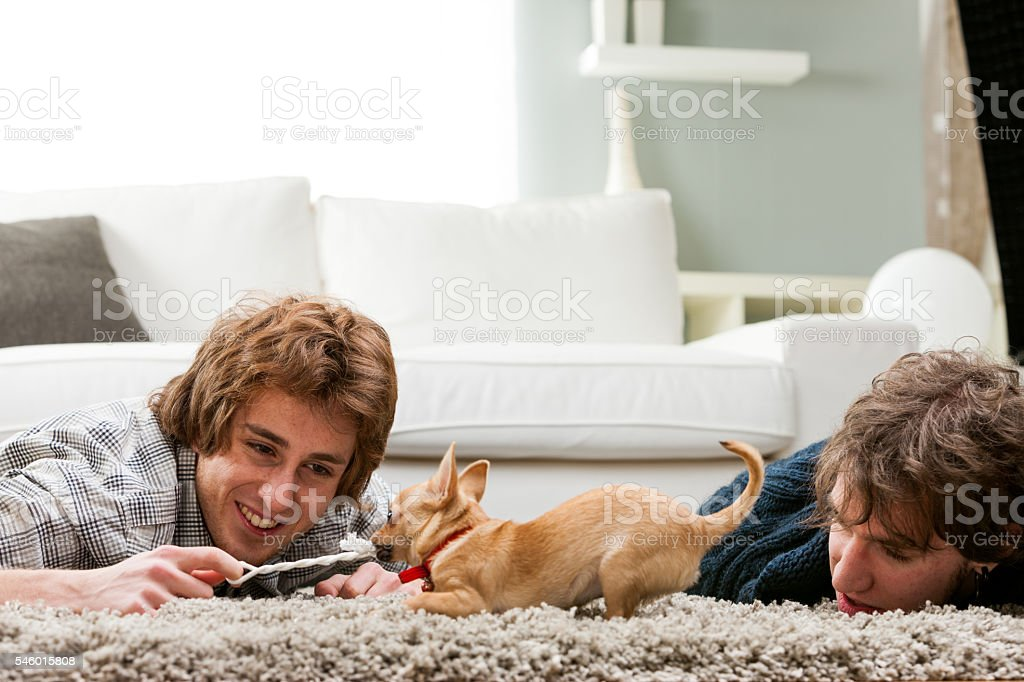 Two young men playing with a pet chihuahua stock photo