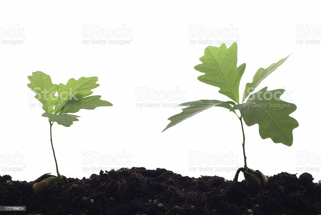 Two young oak trees against white background royalty-free stock photo