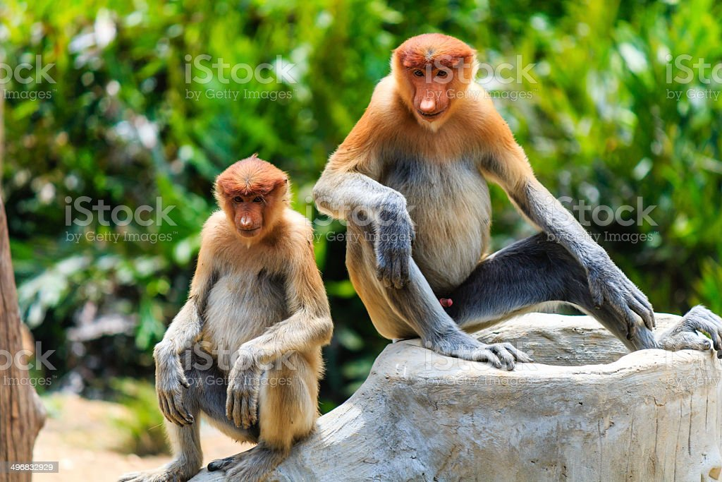 Two young Proboscis Monkeys in Borneo. stock photo