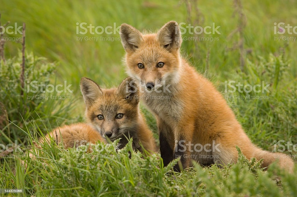 Two young red foxes resting on a field royalty-free stock photo