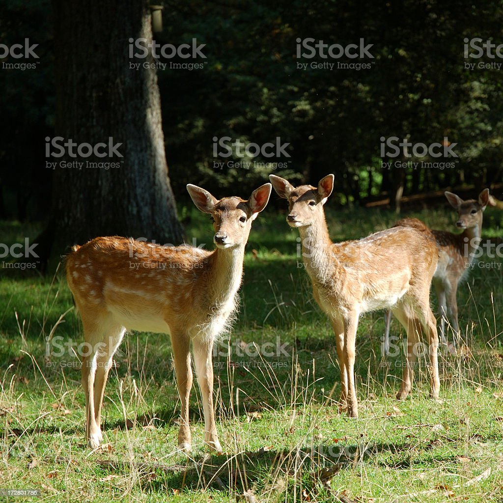 Two young roe deers in a forest stock photo