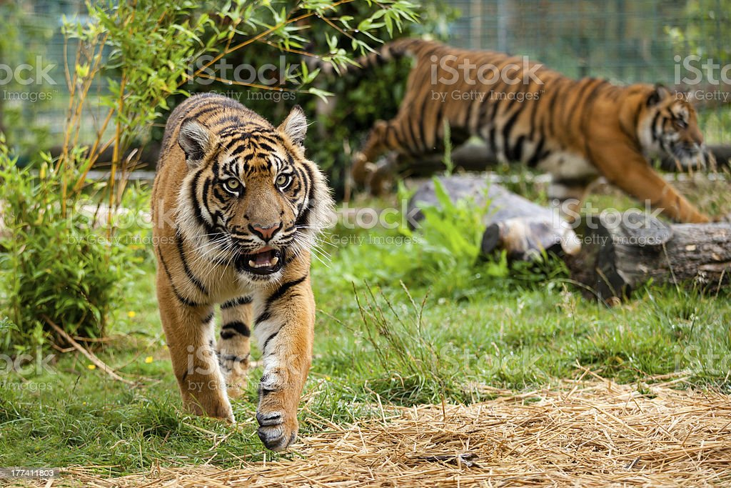 Two Young Sumatran Tigers Running and Playing stock photo