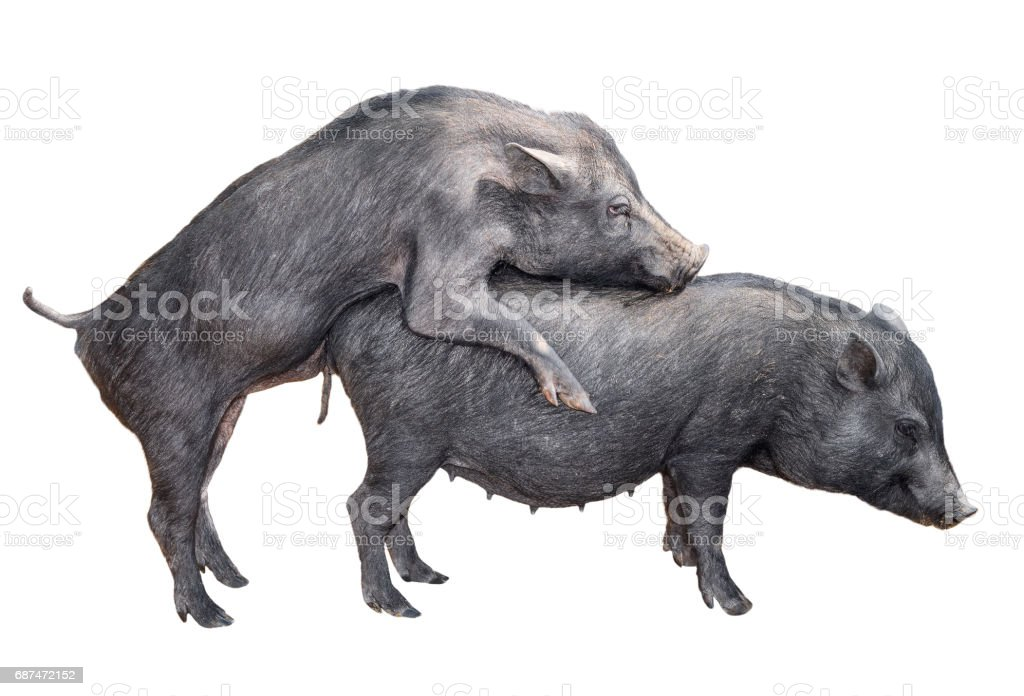 Two young vietnamese potbelly pigs mating. stock photo
