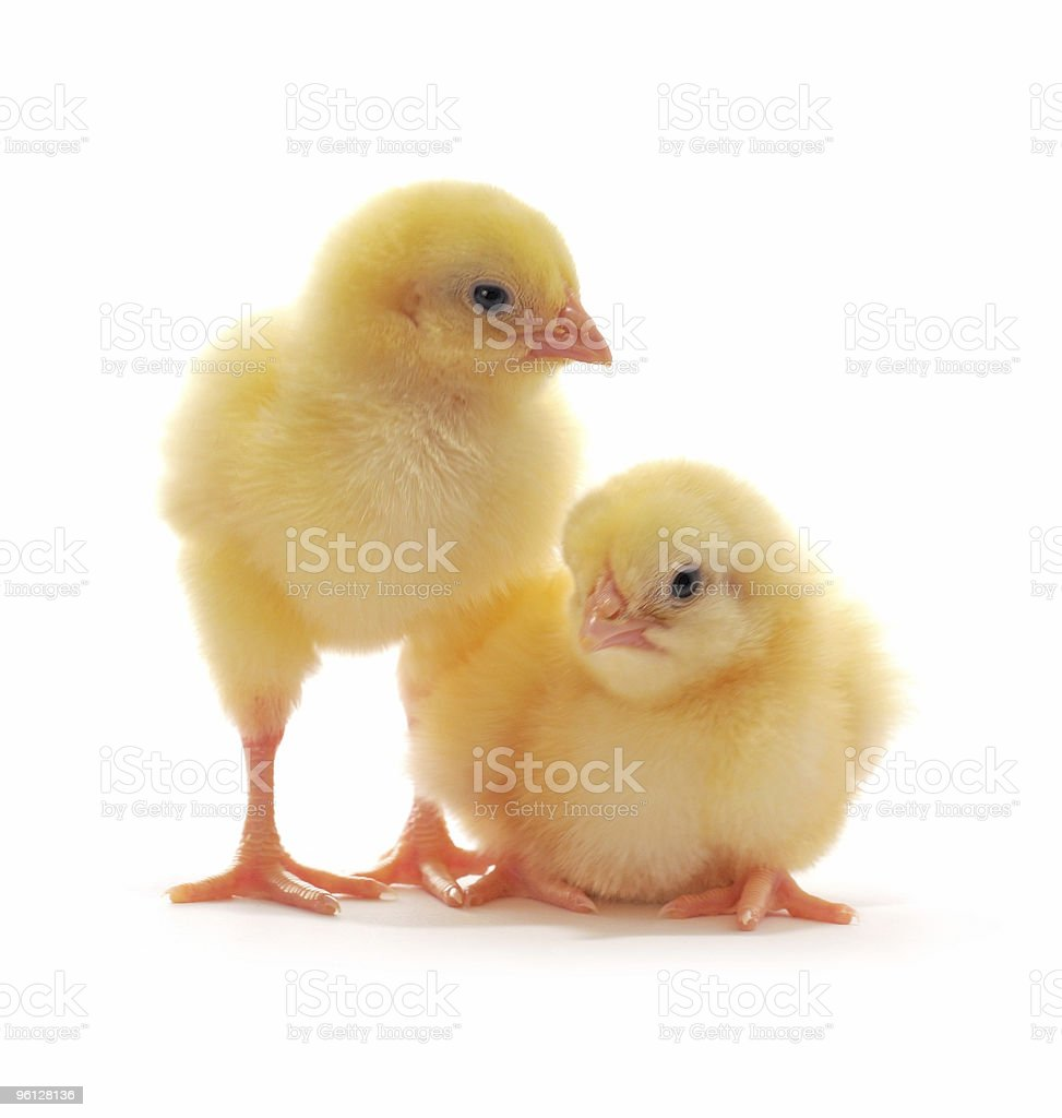 Two young yellow chicks isolated on a white background royalty-free stock photo