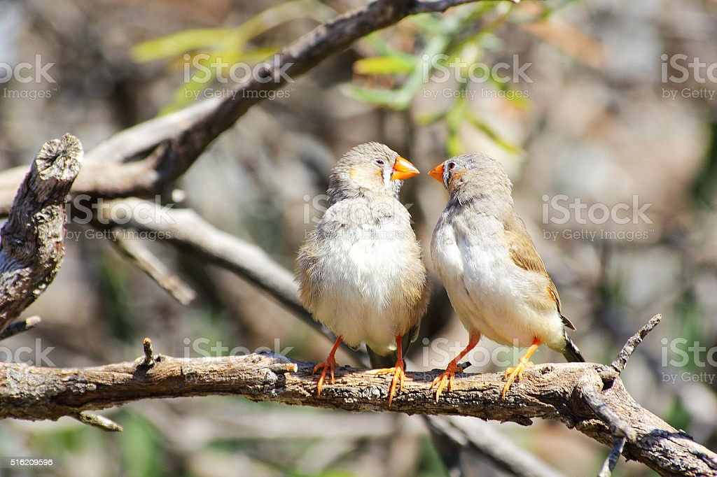 Two Zebra Finches kissing each other stock photo